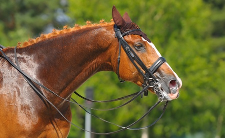 Equestrian sport - dressage / head of sorrel horse Stock Photo - 10107914
