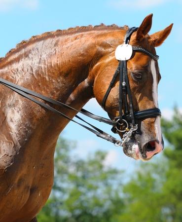 Equestrian sport - dressage  head of sorrel horse Stock Photo