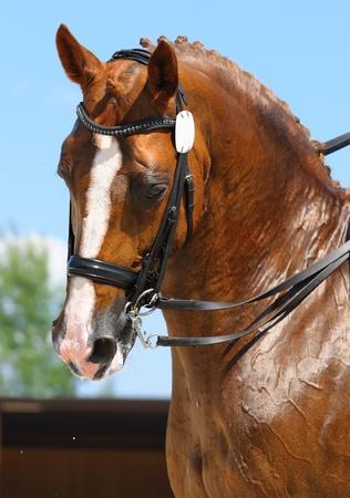 Le sport �questre - dressage  t�te de cheval sorrel