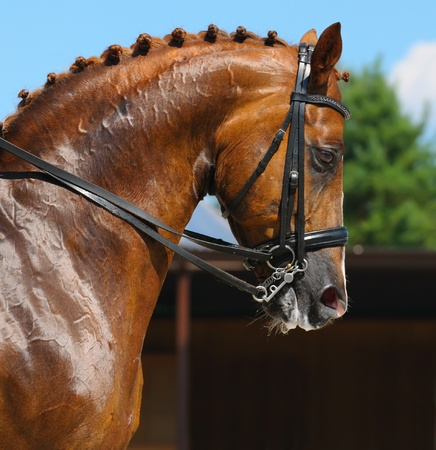 Equestrian sport - dressage  head of sorrel horse Stock Photo