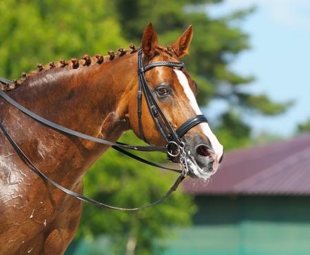 Equestrian sport - dressage  head of sorrel horse 版權商用圖片