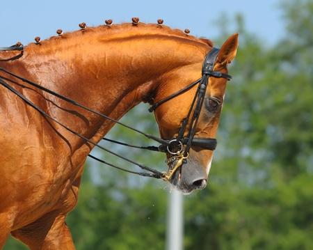 Le sport équestre - dressage / tête de cheval alezan