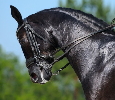 Equestrian sport - dressage  head of black horse