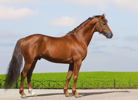 conformation: Sorrel Don stallion - excellent conformation Stock Photo