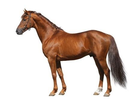 Sorrel Don stallion isolated on white