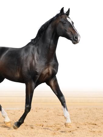 Black Oldenburge stallion trot on arena Stock Photo - 12405427