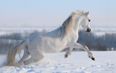 Gray Welsh pony galloping on snow hill Stock Photo