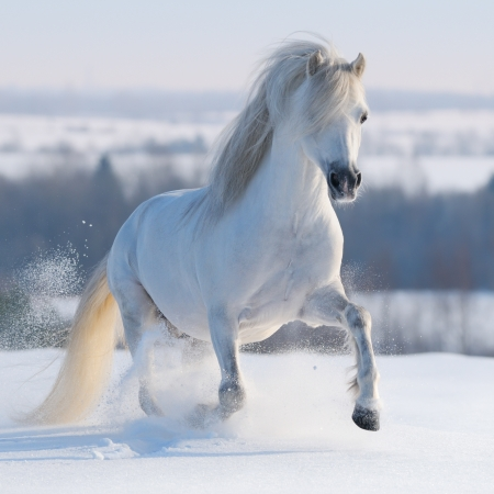 horse in snow: Gray Welsh pony galloping on snow hill Stock Photo