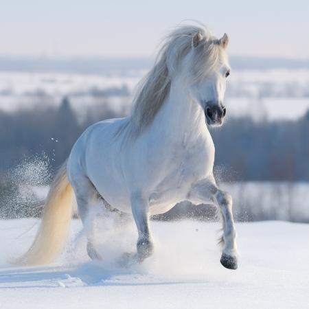Gris Gallois poney au galop sur la colline de neige Banque d'images