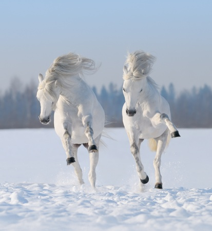 horse in snow: Two galloping snow-white horses Stock Photo