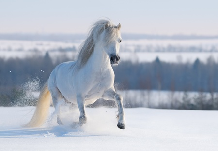 pretty pony: Gray Welsh pony galloping on snow hill Stock Photo