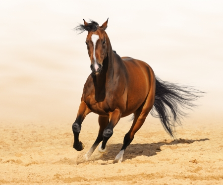Trakehner red-bay color stallion in motion on arena