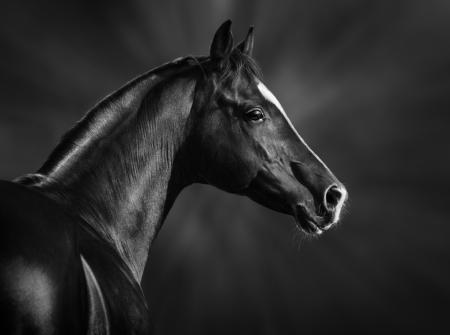 caballos negros: Retrato blanco y negro del semental �rabe