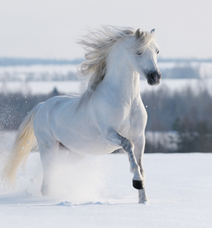 White stallion galloping on snow field Banque d'images