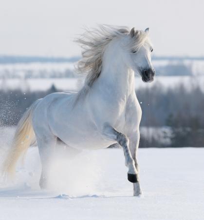 �talon blanc au galop sur la neige champ