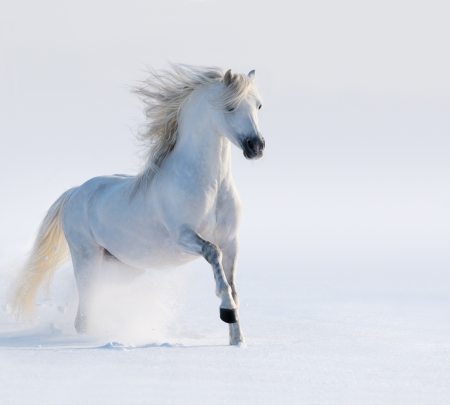 Galloping white horse on snow field