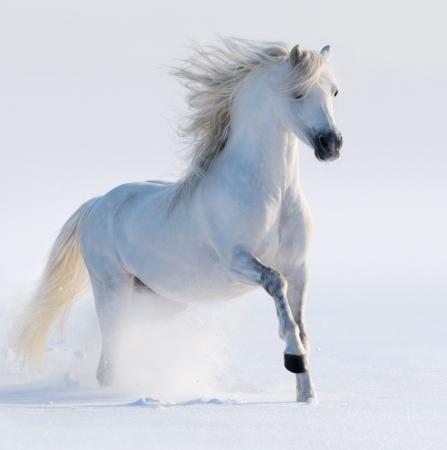 жеребец: Galloping белый конь на снежном поле