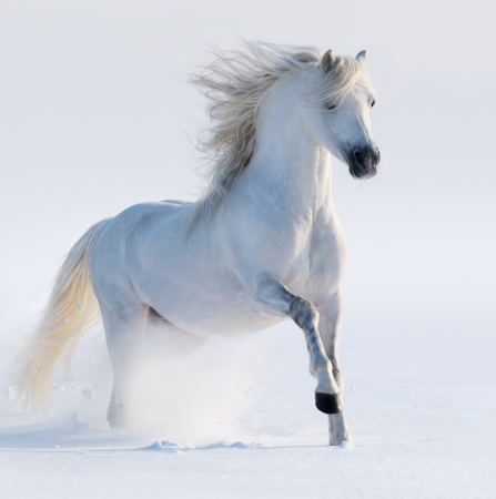 Galloping white horse on snow field photo