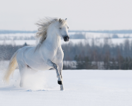 White stallion galloping on snow field 스톡 콘텐츠