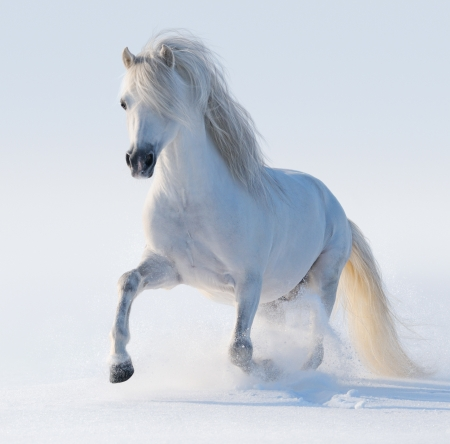 Galloping white Welsh pony on snow field 스톡 콘텐츠