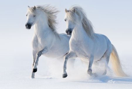 Galloping white horses on snow field Stock Photo