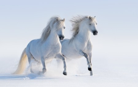 Galloping white horses on snow field Banque d'images