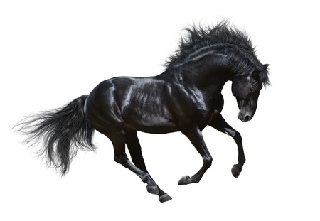galloping: Black stallion in motion - on white background