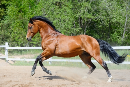 Bay horse of Ukrainian riding breed gallops on manege 스톡 콘텐츠