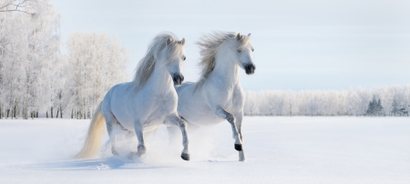 Two galloping white Welsh ponies on snow field 스톡 콘텐츠