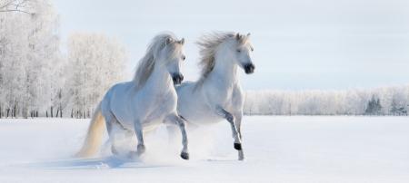 Deux poneys gallois galop blanches sur un champ de neige
