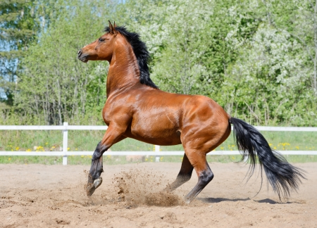 Rearing bay stallion of Ukrainian riding breed on manege 스톡 콘텐츠
