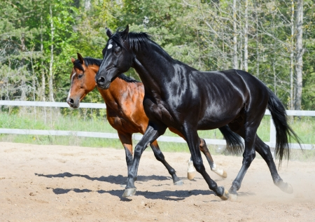 Bay stallion of Ukrainian riding breed and black stallion of Russian riding breed