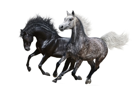 Two horses gallop - isolated on white 스톡 콘텐츠