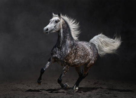 Gray arabian mare gallops on dark background Banque d'images