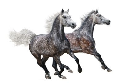 dapple grey: Two gray arabian mares gallop on white background