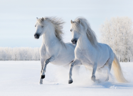 Two white stallions gallop on snow field