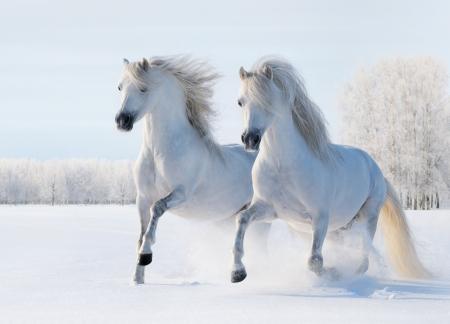 Deux �talons galop blanc sur champ de neige