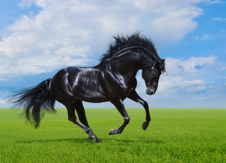 Black stallion gallops on green field Banco de Imagens