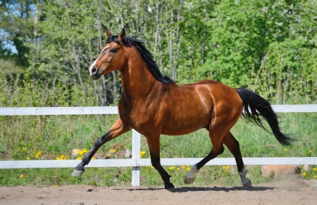 Troting bay purebred horse on manege  스톡 콘텐츠