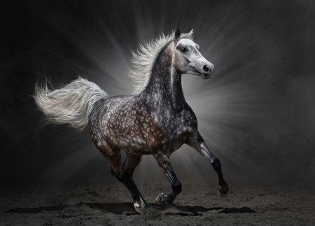 Gray arabian mare gallops on dark background 스톡 콘텐츠
