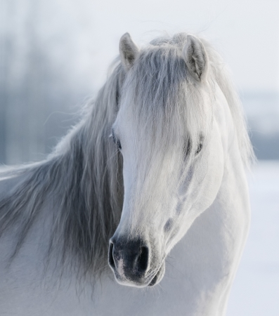 Portrait of white Welsh pony on snow field