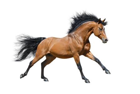 Chestnut stallion in motion on white background