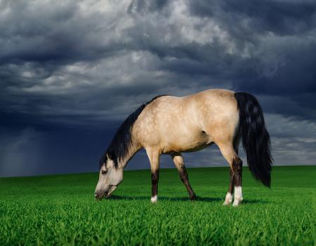 dun: arabian pony on a meadow before a thunder-storm Stock Photo