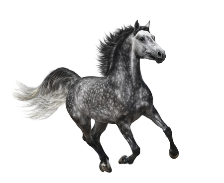Dapple-grey horse in motion on white background