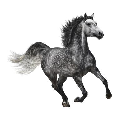 Vlek-grijze paard in beweging op witte achtergrond Stockfoto