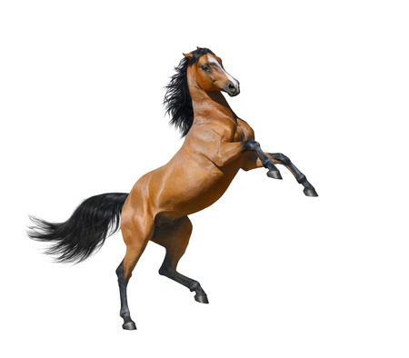 rearing: Bay horse rearing - isolated on a white background Stock Photo