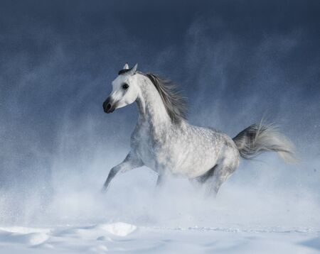 snowstorm: Grey arabian horse galloping during a snowstorm Stock Photo