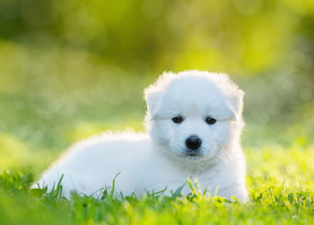 half breed: White puppy of mix breed in one and a half months old. This white mixed breeds parents have been a Labrador Retriever and a Samoyed Dog