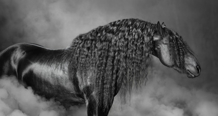 mane: Portrait of black Frisian horse with long mane in the smoke, black and white photography