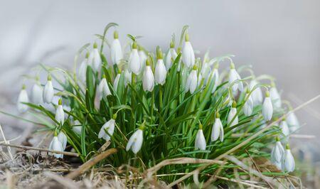 nivalis: Spring snowdrop (Galanthus nivalis) flowers blooming in forest